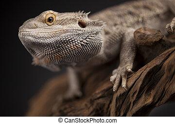 Pet, lizard Bearded Dragon on black background - Lizard,...
