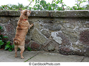 Pet Norfolk Terrier dog looking over a wall