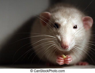 Pet rat - Portrait of pet rat with candy