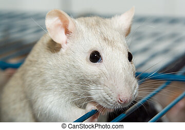 Pet Rat - Pet rat looking out of cage