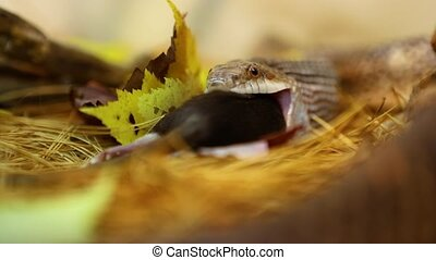 Selective focus closeup of pet serpent feeding time, snake swallowing dead brown and white rat, out of focus blurry pine needles in foreground