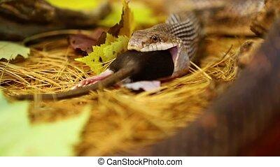 Pet serpent eats brown rat in terrarium - Selective focus ...