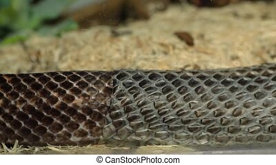 extreme close up and selective focus shot of a rat snake body. slowly crawls as it shedding its skin over wood shavings in pet serpent glass cage