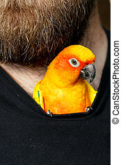 Pet Sun Conure Parrot Bird inside Shirt