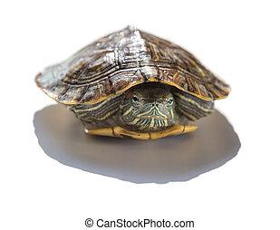 pet turtle red-eared slider or Trachemys scripta elegans...