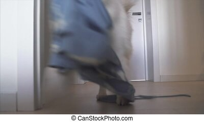 Pet with a dress in his mouth runs away from its owner. The...