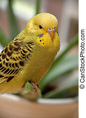Yellow budgie is resting.