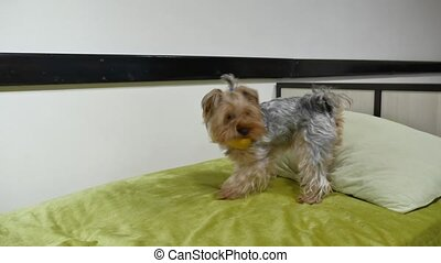 Pet Yorkshire Terrier bites a rubber toy lying on indoors...
