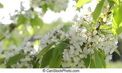 Petal cherry flowers blooming in sp