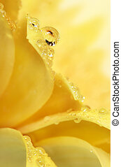 Petal Drop - Water drop on yellow flower petal with...