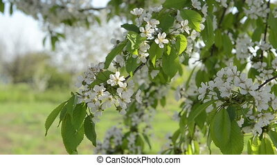 Petal flowers blooming in springtim