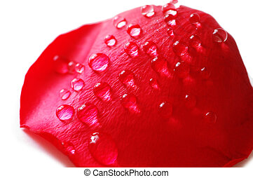 Petal of red rose with water drops
