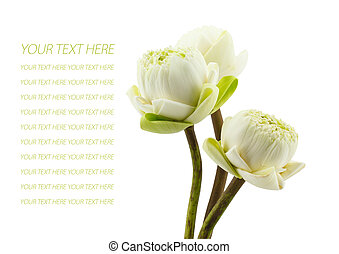 petal of the green three lotus flowers blossom isolated on ...