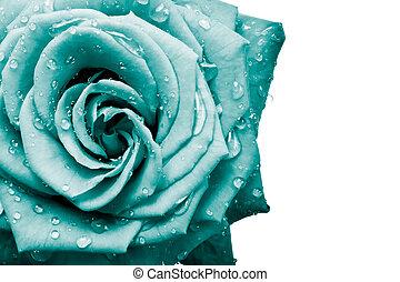 petali rose
