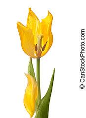 petals, сбрасывание, желтый, it's, тюльпан