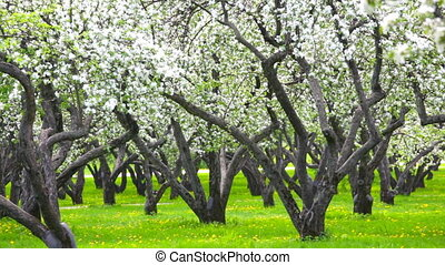 Petals fly from blossoming apple-trees