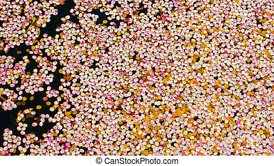 Petals of cherry blossoms