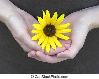 Sunflower cuddled in girls hands