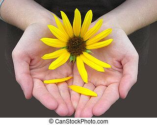 Sunflower in girls hands