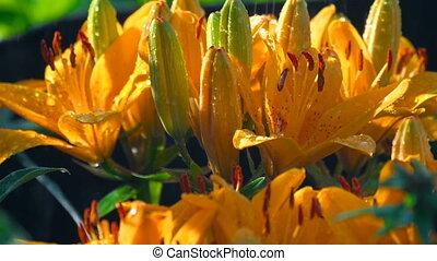 Petals of orange lily under rain - Orange lily flowers under...