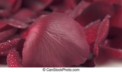 Petals of red roses with water drops blown off by the wind to white background slow motion stock footage video