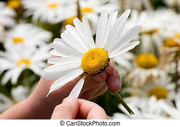 petals, plucking, маргаритка