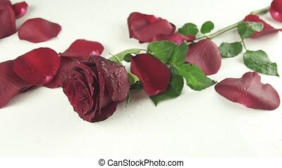 Petals wind blows with a red rose on white background reverse slow motion stock footage video