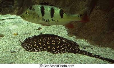 Petenia splendida and Ocellate river stingray in freshwater...