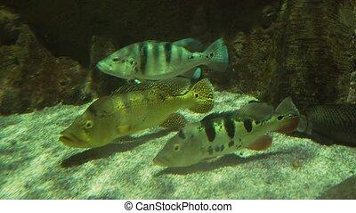 Petenia splendida, the Bay snook in freshwater aquarium...