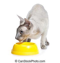 Peterbald Cat Eating - shorthair oriental cat, peterbald,...