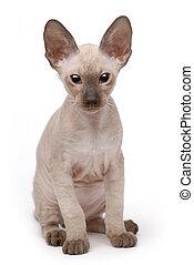 peterbald, marrón, oriental, gato, shorthair