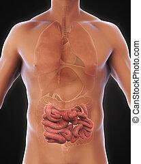 petit, anatomie, intestin, humain