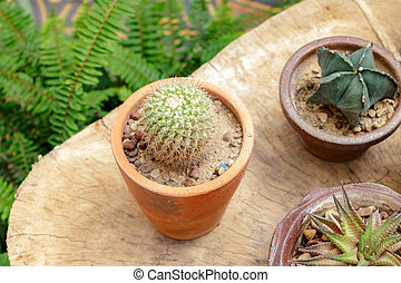 petit, bois, jardin cactus
