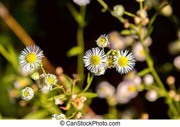 petit, champ, fleur, pré, pâquerette