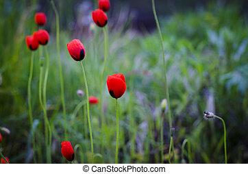 petit, champ, fleurs, pavot