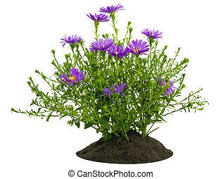 petit, chrysanthèmes, buisson, lit, violet