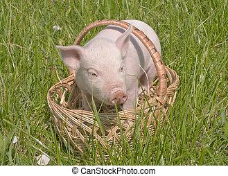 petit, cochon