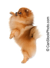 petit, compétence, chien