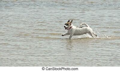 petit, courant, plage, chien
