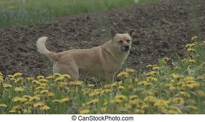 petit, fleurs, herbe, chien, jaune