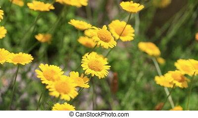 petit, fleurs ressort, jaune