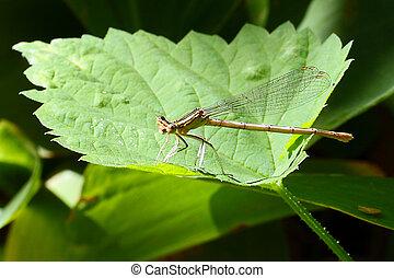 petit, gracieux, libellule