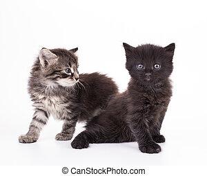 petit, gris, isolé, chatons
