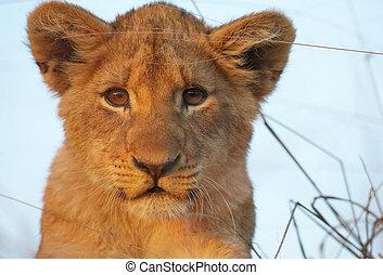 petit lion, (panthera, leo), gros plan