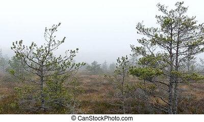 petit, marais, arbres pin