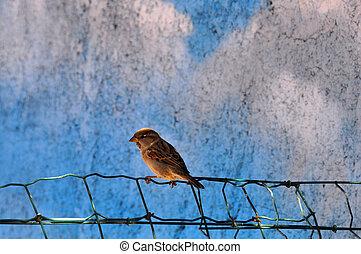 petit, oiseau, moineau