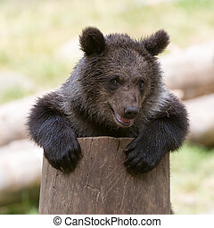 petit, ours