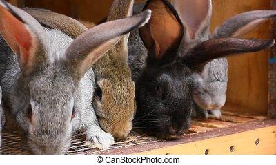 petit, pelucheux, lapins