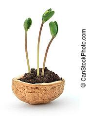 petit, plante, coquille noix