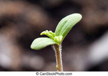 petit, pousse, médicinal, vert, marijuana